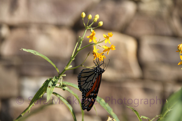 Southern California Monarch II