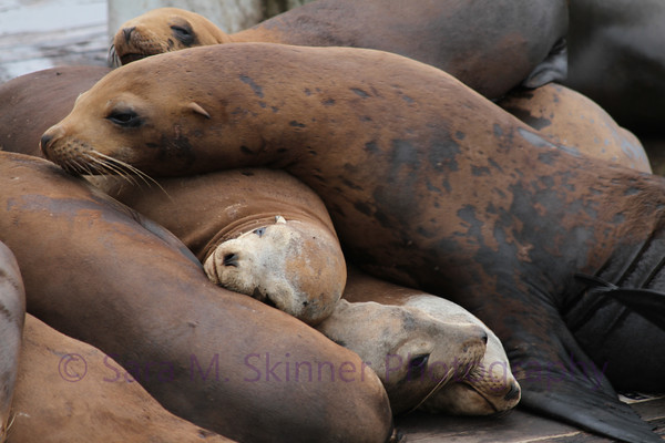 Sea Lion Sandwich