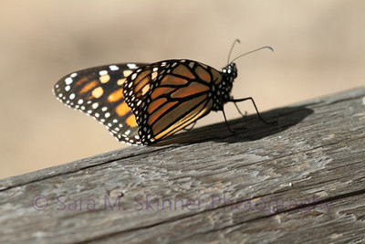 Pismo State Beach Monarch I