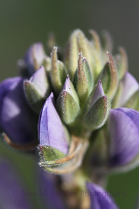 My favorite wildflower, lupine.