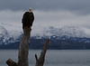 Bald eagle in Homer
