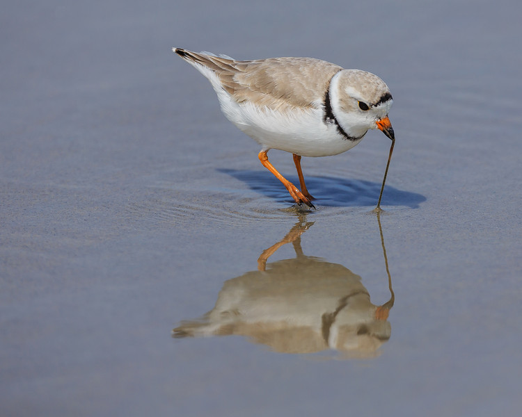 A piping plover feeding in Crane Beach, Ipswich, MA<br /> Won Honorable Mention at New England Camera Club Council 2013 Nature competition