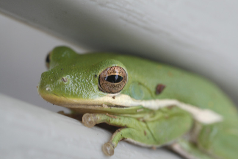 A frog cleverly hiding between the slats in  the back of a chair.