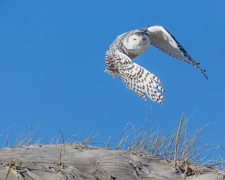 A snowy owl taking off from the dunes at Crane Beach, Ipswich, MA