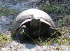 Gopher tortoise (Normie), Honeymoon Island, Dec 2007