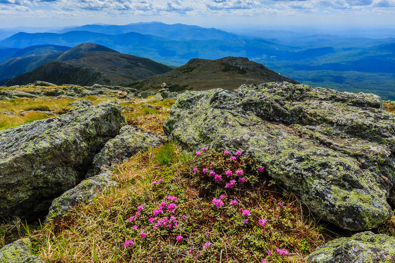 Lapland rosebay on the top of Mt. Monroe in the White Mountains, NH