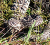 rattlesnake, Honeymoon Island, Dec 2007