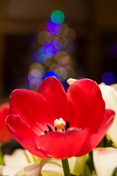 Christmas Tulip