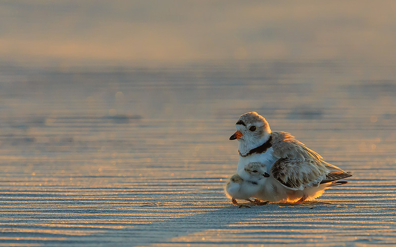 A piping plover mom and a day-old chick at sunset in Crane Beach, Ipswich, MA.<br /> This image is a top-10 finalist in the 2014 Defenders of Wildlife Photo Contest.