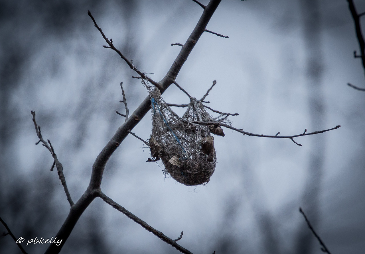 2-21-17  Last year's oriole nest. Very visible with no leaves on the trees. Wonder where she got the blue fiber.