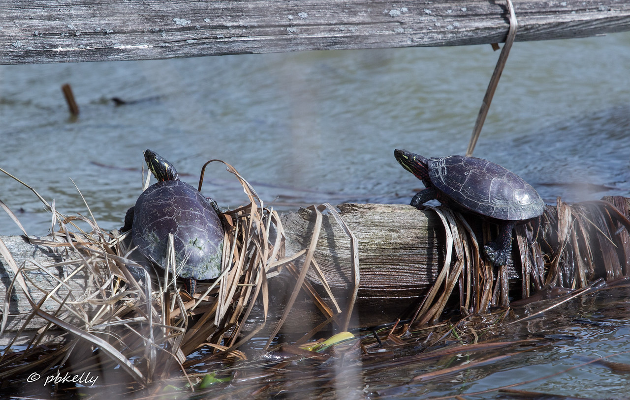 2-24-17.  Some of the Sandy Ridge turtles sunning themselves.  In February!