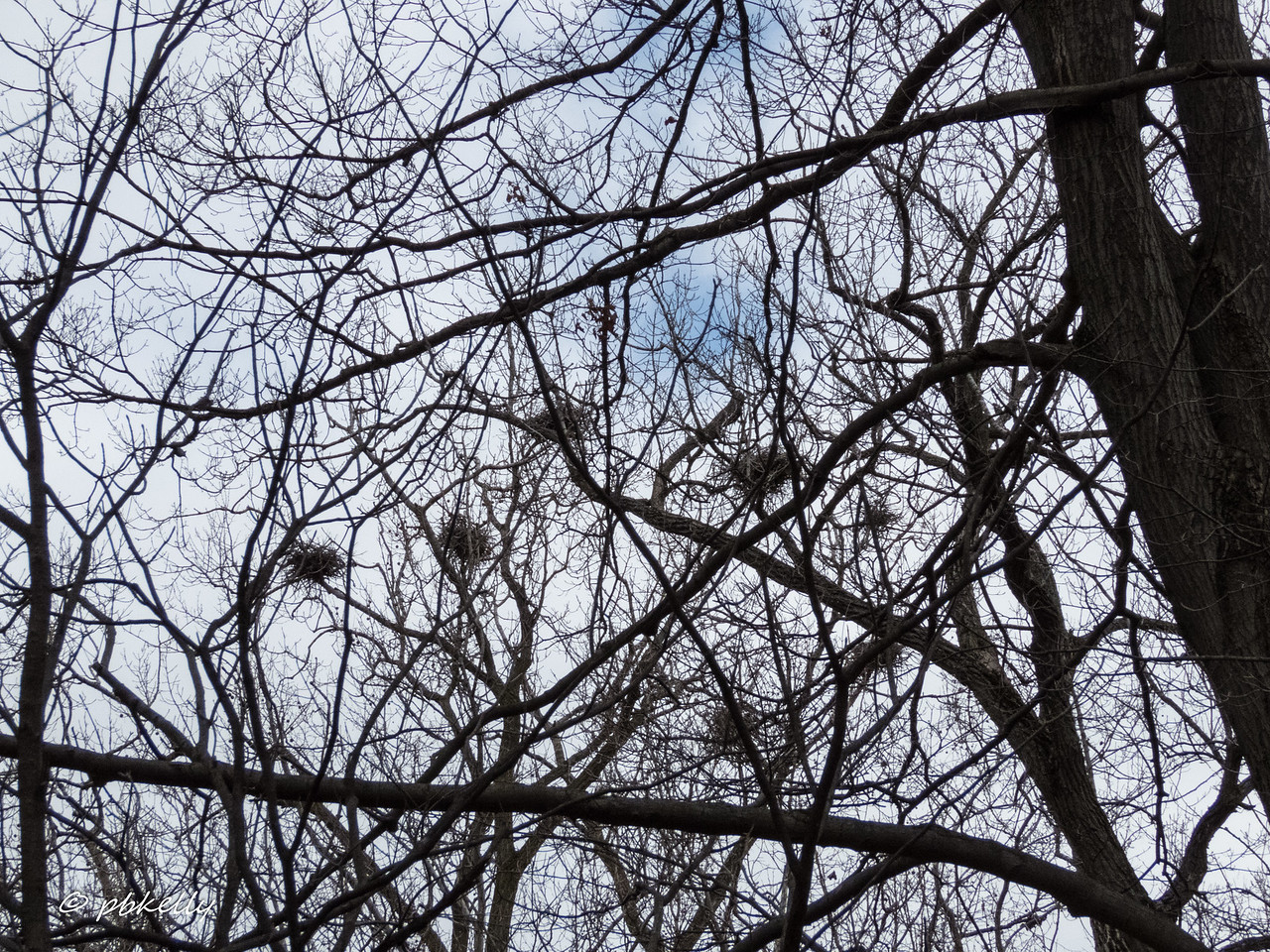 2-25-17.  Medina Preserve with CMNH.  Didn't look like the Herons had returned to their nests yet, although they were reported in the Cuyahoga Valley.  No owls taking over any nests, either.