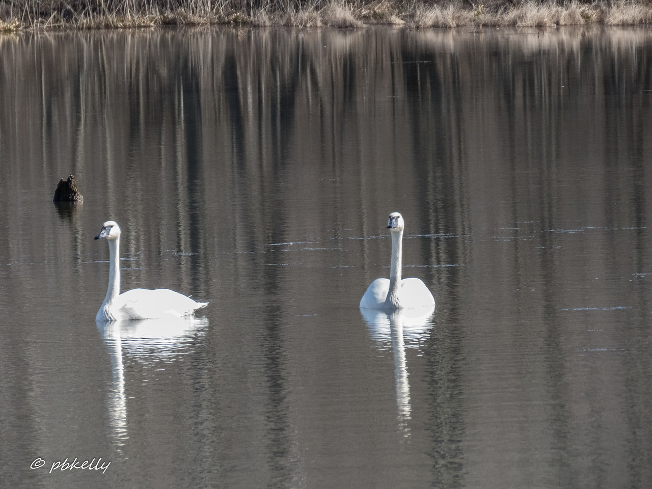 2-20-17.  Caley Reservation.  A pair of Trumpeter swans in the back pond.<br /> My project for the day was figuring out the difference between Trumpeter and Tundra Swans.  These are Trumpeter.