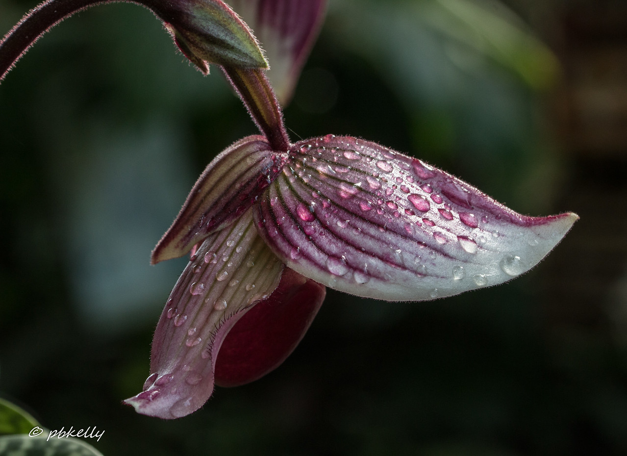 """2/01/2017.  Went to CBG today to scout  out Orchidmania before photographer's hours.  No tripod.  My  90mm macro with IS can handle handheld, but I found it very difficult on my hands.  More here  <a href=""""http://www.phylliskelly.com/Flowers/Orchidmania/Orchidmania-2017"""">http://www.phylliskelly.com/Flowers/Orchidmania/Orchidmania-2017</a>"""