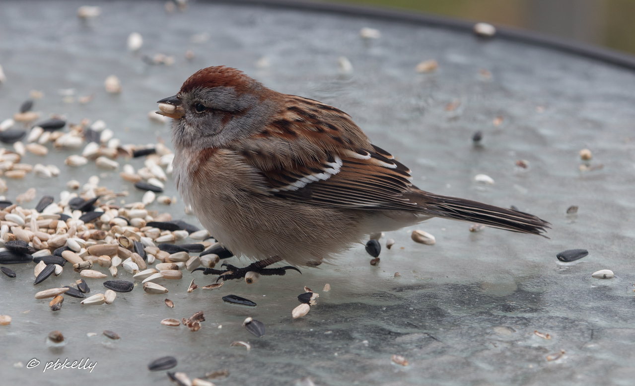 """1-24-17.  Turned around from the tulips and there was this Tree Sparrow right outside saying """"Take my picture , please.""""  Macro lens and through the dirty double pane windows."""