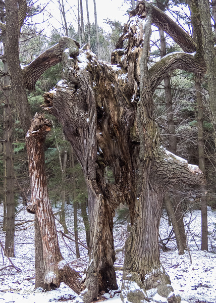 1-28-17.  Wolf Creek Environmental Center with CMNH .  Definitely want to revisit this place in the Spring.  This is called the Fairy Tree.  Hit by lightning years ago and has decayed into amazing patterns.