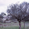Olive trees Portugal 1973