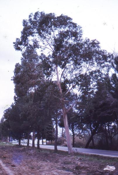 Cork tree Portugal 1973