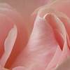 Rose unfurled