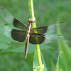 Dragon fly in the flower bed.