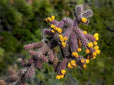 Sedona Cactus - 2019