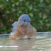 Blue bird bath time