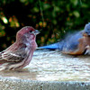 Rosy finch and male blue bird bathing in our back yard bird tub