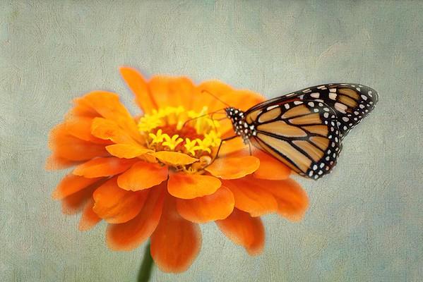 Monarch on ZinniaTex