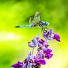 Dragonfly on Iris