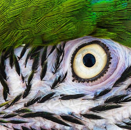 Bennett_Parrot Eye_8x10_no 2