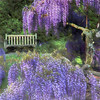 Wisteria at Longwood