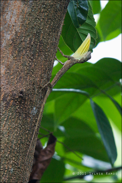 "Flying Lizard, male either <i>Draco volans</i> or <i>Draco spilopterus</i> Antipolo, Rizal  The yellow flap of skin is called a dewlap. The male lizards use it to signal each other. Ronald Achacoso said,  ""like a flag for visual territorial display (of mood or intent)""."
