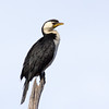 Little Pied Cormorant<br /> Canon 60D  Canon 400mm 5.6