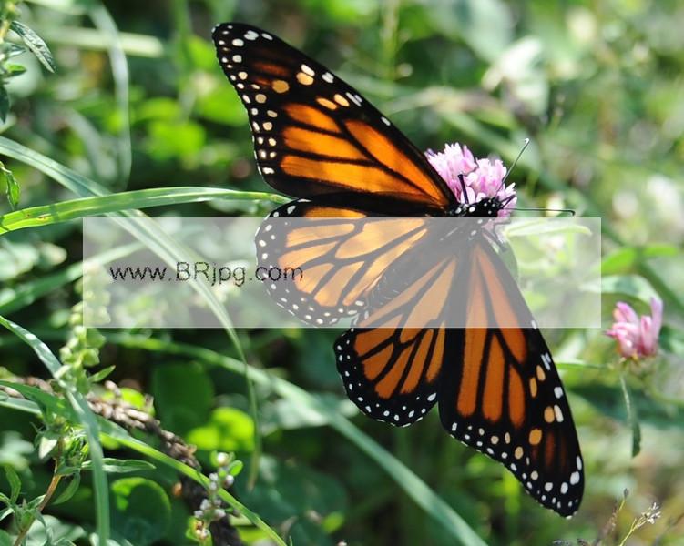 a monarch_0017