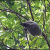 Flying Lemur<br /> Rajah Sikatuna Park