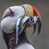 13  Puffin Portrait