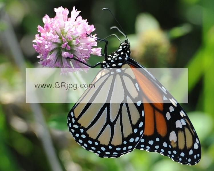 monarch2_0257
