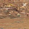 BROWN RAT SNAKE <i>Elaphe erythrura erythrura