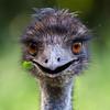 emu-avatar