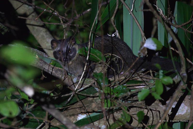 Asian Palm Civet <i>Paradoxurus hermaphroditus</i> <i>musang</i> Sabang, Palawan