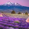 shasta_lavender.jpg