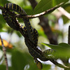 Mangrove Snake or sometimes called Gold-ringed Cat Snake <i>Boiga dendrophila multicincta</i>  Average length is around 6-8 feet, considered mildly venomous.  Took this picture in the mangroves of Sabang, Palawan.
