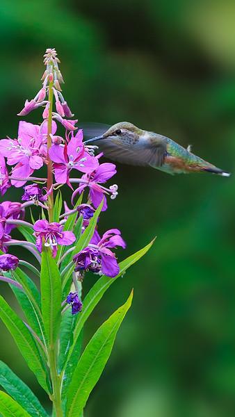 20  Hummingbird