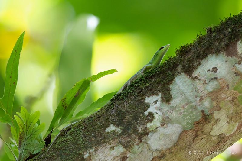 Philippine Green Tree Skink  <i>Lamprolepis smaragdina philippinica</i>  endemic skink