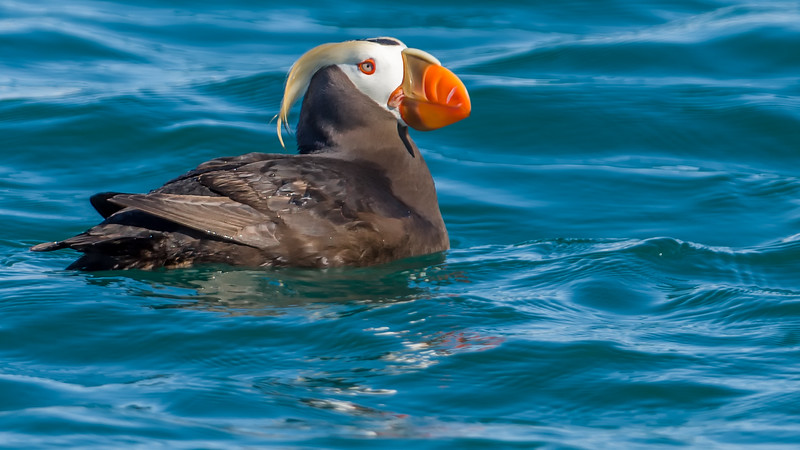 17  Tufted Puffin Crop