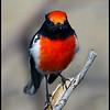 Red-capped Robin - male.  Canon 60D 400mm 5.6  lens.