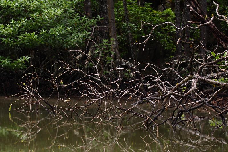 Mangrove area, Sabang, Palawan