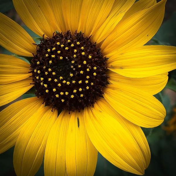Sunflower-1052