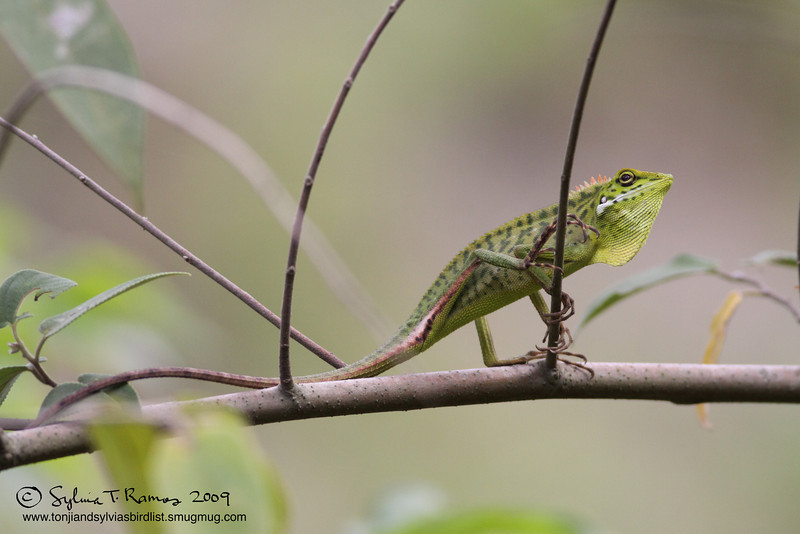 GREEN CRESTED LIZARD <i>Bronchocela cristatella</i>  This was taken in Sierra Madre, Nueva Ecija. At first I thought it was a bird .. then a leaf .. then it turned out to be a marvelous looking lizard!