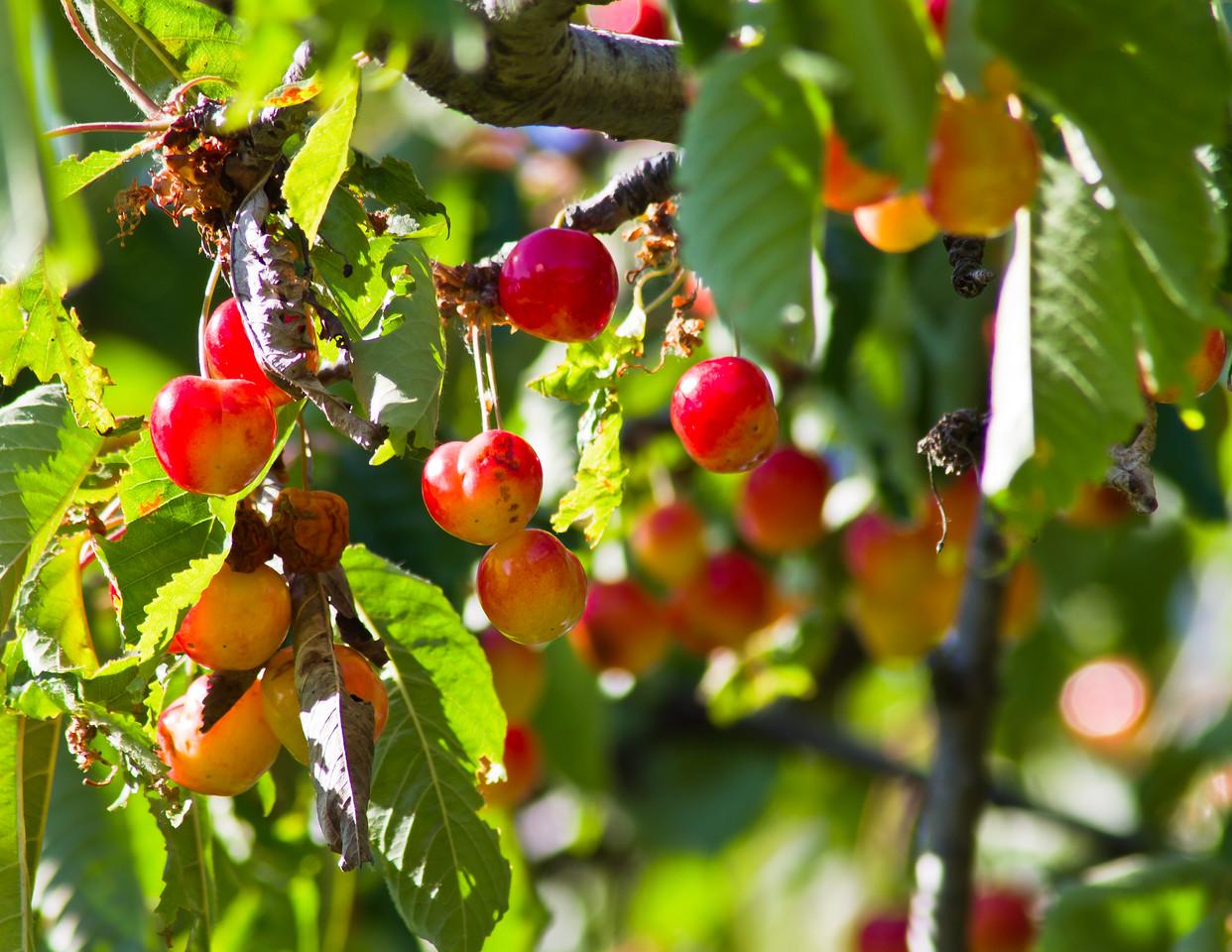 Barolo day 63 cherries Monforte d'Alba 2 sm